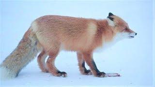 Рыжий вор-рецидивист объедает югорских кошек