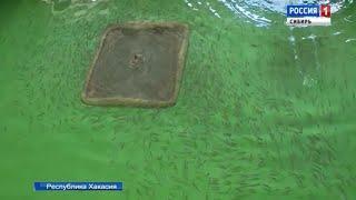 Мальков хариуса выпустили в реки Абакан и Енисей Республики Хакасия