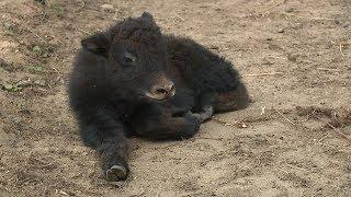 В Саранском зоопарке у домашних яков родился детёныш