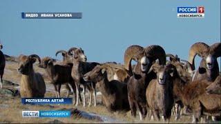Рожденных в Новосибирском зоопарке горных баранов выпустили в дикую природу