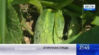 «Вести: Приморье»: Как приморские фермеры справляются с полевой работой в жару?