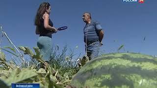 Донские аграрии начали уборку на арбузных полях