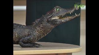 Чучело крокодила пополнило коллекцию Самарского областного детского эколого-биологического центра