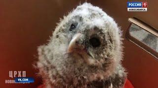 Маленького совенка спасли новосибирские зоозащитники