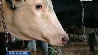 Вести-Хабаровск. Коров привезли