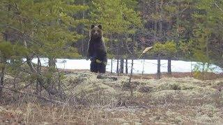 Медведи в Югре проснулись и начали выходить к людям