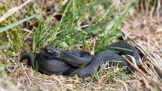 На югорчан всё чаще нападают змеи. Как вести себя при встрече с гадюкой