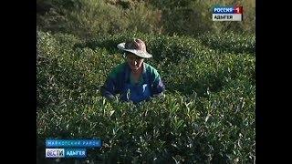 В Майкопском районе проходит сбор самого северного в мире чая