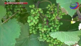 В Дербентском районе прошло выездное совещание по проблемам виноградарской отрасли