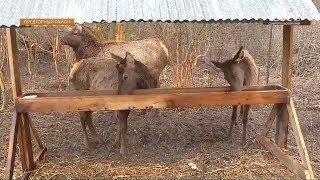 В Предгорном районе в естественную среду обитания выпустили благородных оленей