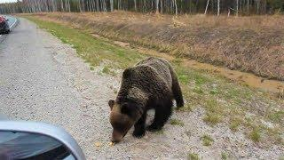 Медведи спасаются от пожаров в городах Югры