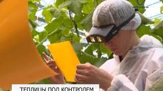 Специалисты Россельхознадзора используют ловушки в теплицах под Белгородом