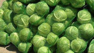 В Заволжье – хороший урожай овощей