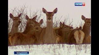 """В заказнике """"Горненский"""" выпустили в дикую природу 20 оленей и 7 ланей"""