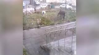 Лошади пасутся в Красноярске
