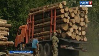 В Красноярском крае «черные лесорубы» вырубают ценные породы древесины