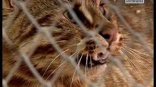 Спасенного из капкана амурского лесного кота приютили в зоопарке Благовещенска