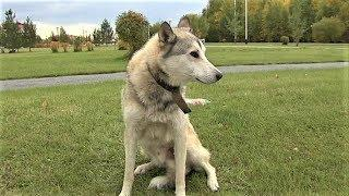 Жителей Лангепаса атакуют собаки