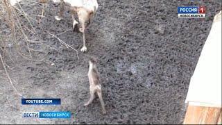Двое детенышей северных оленей родились в Новосибирском зоопарке