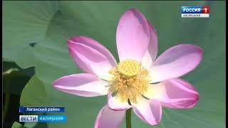 В селе Джалыково Лаганского района расцвели лотосы
