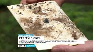 Cибирский шелкопряд угрожает лесам Удмуртии