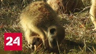 В Московском зоопарке можно увидеть трех детенышей сурикатов - Россия 24