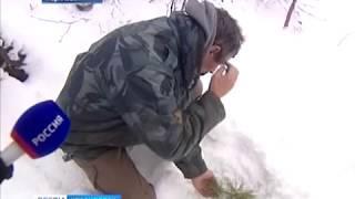 Анонс: в Норильске в районе Талнаха начал расти сибирский кедр