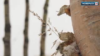 За сутки в Ноябрьске выпало более 15 сантиметров осадков
