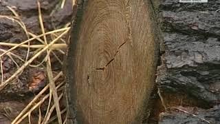 Вести-Хабаровск. Заготовка древесины