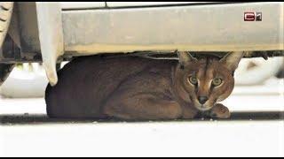 В Сургуте ловили рысь, выпрыгнувшую с балкона четвёртого этажа