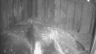 Новорожденные медвежата в берлоге в нижегородском зоопарке