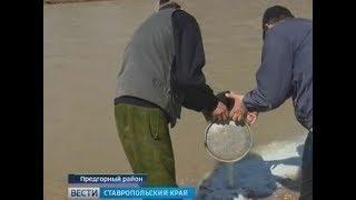 Фермеры Ставрополья слили молоко в реку