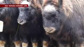 Переселение овцебыков с о. Большой Бегичев на о. Завьялова