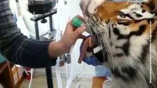 Вести-Хабаровск. Операцию тигру