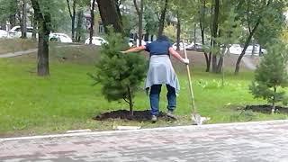 В Хабаровске меняют деревья на бульваре