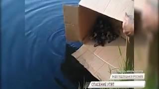 Ярославцы спасли утиную семью