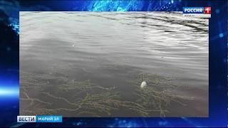 В Горномарийском районе зафиксировали массовую гибель рыбы на Волге