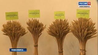 Селекционеры новосибирского Института растениеводства подвели итоги уборочной