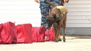 Хвост пистолетом: полицейские собаки Волгоградской области показали профмастерство
