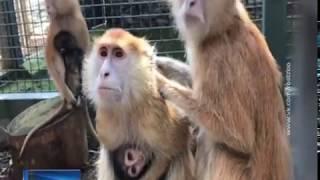 В Ростовском зоопарке сняли на видео прогулку детенышей красных мартышек