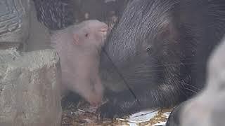 Бэби-бум в Ярославском зоопарке: пополнение в семействах дикобразов и носух