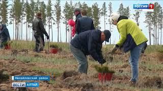 В лесничествах Алтайского края начали высаживать деревья