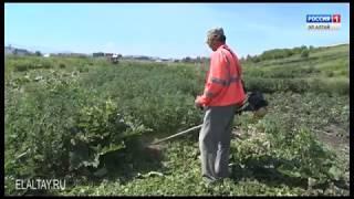 Полицейские уничтожают очаги дикорастущей конопли