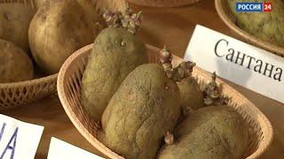 «Дача»: подготовка картофеля к посадке