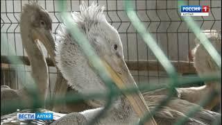 В Алтайский край привезли ещё троих потерявшихся пеликанов
