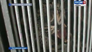 Незаконный ввоз леопардов, удавов и крокодилов пресекли алтайские таможенники