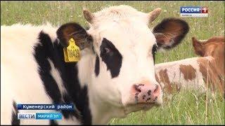 Всех сосчитают: в Марий Эл начали биркование домашнего скота - Вести Марий Эл