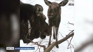 Молодая лосиха из Костромской области забрела в вологодские леса
