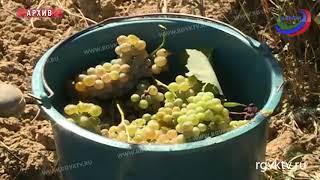 В этом году на развитие виноградарства в Дагестане направили более 500 млн рублей