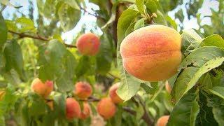 «Край аграрный». Птицы и персики